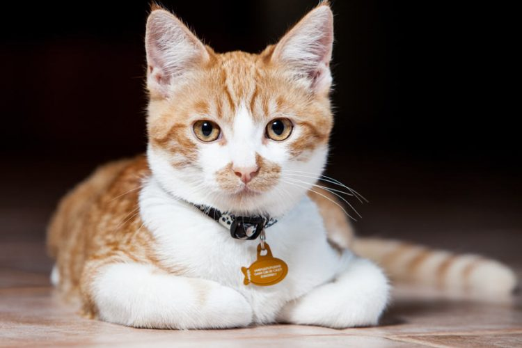 Collars for Cats – Why Use Them and What Are the Different Types?