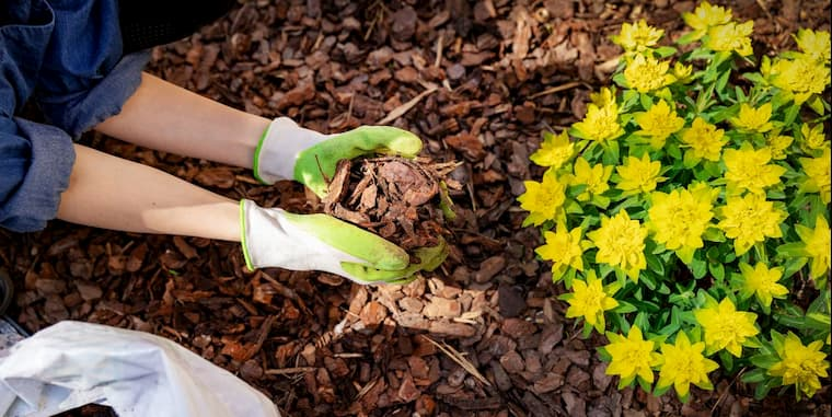 gardener mulching flower bed