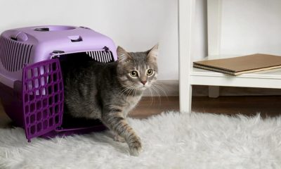 cat walking out of the carrier on white rug